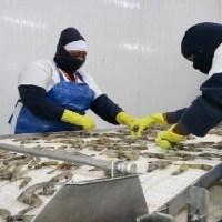 Productores de camarón toman medidas ante caída de las ventas
